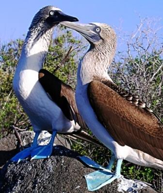 Blue-Footed-Boobies-Isabela-Tour